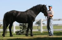 Black Curly Sport Horse Stallion