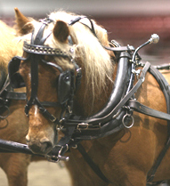 43″ curly pony mare professionally trained to drive