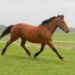 Bay Curly Mare ~Great Trail Horse~ More Potential