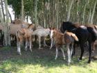 Ron Groves (Blue Northern Curlies) Herd