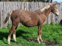 SFT Quitaque: Sweet and Charming Personality, Willing Spirit – Curly filly from SFT True Heart