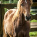 Curly Stallion prospect  for sale