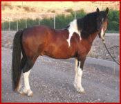 Triple Registered Curly Missouri Fox Trotter Stallion