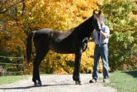 Tall, Refined, Black, 2 Year Old Filly – (New Video)
