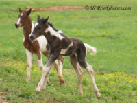 Hidden Cave Dondi, Tobiano colt will be tall!
