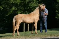 2013 palomino curly pony gelding – new video