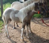 Curly Grulla paint pony filly