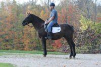Quiet, gentle, 5 year old grullo gelding (video – under saddle)